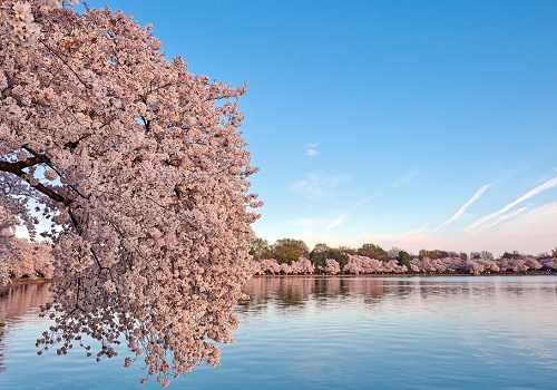 Cherry tree and the view of a lake in a blue sky. We see the peaceful poster as a way to dream yourself away and gives us a feeling of being there.